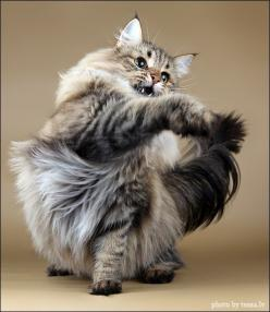 "* * CAT: "" Sometimes I woulds just likes to rip dis damn tail off ands beez done wif it. Too much fur-fur."": Cats Meow, Animals Cats Domestic, Maine Coon, Siberian Cat, Norwegian Forest Cats, Cat Cat, Cat S, Coon Cats"