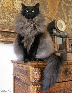 Cat: Cats Cats, Fur Coats, Beautiful Cat, Kitty Cat, Crazy Cat, Funny Animal, Cat S, Black Cat, Fur Vest