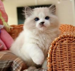 cat photos - Google Search: Cats Cats, Kitty Cats, Ragdoll Cats, Cute Cats, Ragdoll Kittens, Ragdoll Kitty, Rag Dolls, Kitty Kitty, Cats Kittens