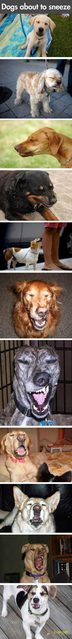 dogs about to sneeze.. This made me laugh harder than it should have...: Doggie, Funny Animals, Dogs Dogs, Laughing So Hard, Funny Dogs, Dogs Sneezing, Puppy, So Funny