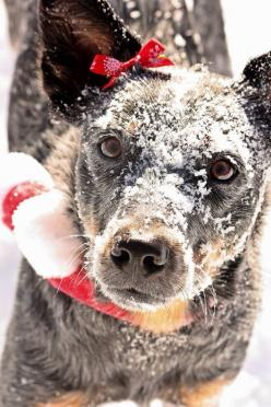 FB Australian Cattle Dog photo posted by Rose Erwin: Acd Blue, Australian Dogs, Cow Dog, Acd S, Foo Dog, Australian Cattle Dog, Blue Heeler