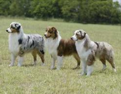 For working ability combined with beauty it is hard to beat an Australian Sheppard. They are either number one on the list or a close second.: Dogs Aussies, Australian Shepherds, Animals Pets, Aussie Dogs, Australian Shepards, Future Pet, Australian Sheph