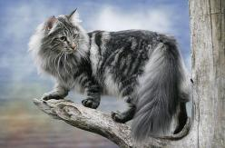 Google Image Result for http://www.chadpress.com/wp-content/uploads/2012/06/Hairy-Norwegian-Forest-Cat.jpg: Kitty Cats, Beautiful Cats, Norwegian Forest Cat, Maine Coon, Cats Photo, Animals Cats, Cats Kittens, Coon Cat