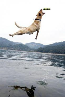 Heidi, a yellow Labrador retriever owned by an Oakridge, Ore., teen, is an award-winning jumper.: Winning Jumper, Yellow Labrador Retrievers, Yellow Labs, Amazing Dogs, Great Shots, Leaping Labradors