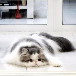 Hope, the Persian cat - They truly are the most beautiful breed: Kitty Cats, Beautiful Cat, Flat Faced Cat, Fat Cat, Kitty S, Persian Cats, Cats Kittens, Fluffy Cat, Adorable Animal