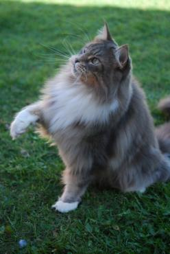 I've been seeing cats like this for the past couple days.. I hope I'm destined to get one some day!: Beautiful Cats, Maine Coon Cats, Beautiful Maine, Cat S, Baby Boy, Cat Molly, Baby Cat