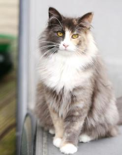 I have never seen a photograph of this breed of cat before until today!  It's a Norwegian Forest Cat.: Cool Cats, Kitty Cats, Breeds Of Cats, Beautiful Cats, Elegant Cats, Norwegian Forest Cats, Cats Animals Cats, Fluffy Cat