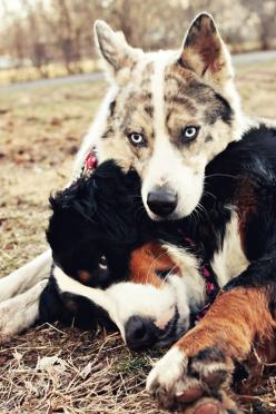 I so would love to greet and hang with these two everyday. A Bernese Mountain Dog and Husky Mix.: Doggie, Bernese Mountain Dogs, Gorgeous Dogs, Best Friends, Puppy Love, Husky Mix, Dog S, Beautiful Dogs