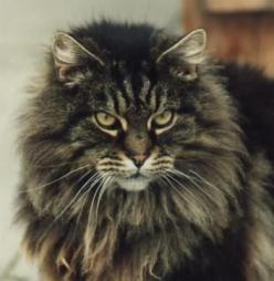 Long Haired Cat :  reminds me if my Tatiana! Beautiful:  looks like a miniature lion.: Cats Kick, Kitty Cats, Maine Coon Cats, Longhair Cats, Long Haired Cats, Kittens Cats, Black Cat, Baby Cat