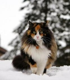 Look at this gorgeous coat,: Kitty Cats, Beautiful Cats, Maine Coon, Pretty Cat, Calico Cats, Cat S, Cats Kittens