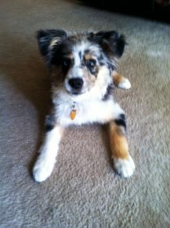 Mini-Australian Shepherd, Blue: Australian Shepherd Dogs, Boxer Dogs, Australian Dog, Aussies, Bout Dogs, Doggy S, Animal