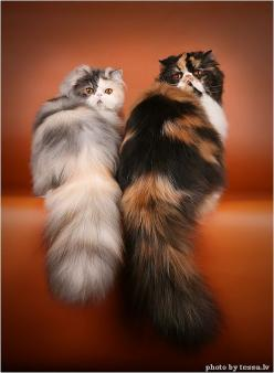 ...most importantly - TAIL!  by Tessa.lv, via tessochka.livejournal.com: Kitty Cats, Calico S, Adorable Cat, Calico Persians, Posh Cats, Calico Cats, Persian Cats, Animals Cats