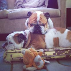 My babies: William Potato McBacon and Polly Pringle Smalls: Bulldog S, Bulldog Fave, Second Bulldog, English Bulldogs, Dogs Puppies, Bulldogs Daily, Sweet Bulldogs, English Bull Dogs
