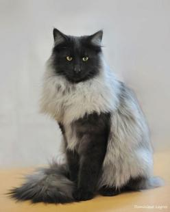 Norwegian Forest Cat I want one in the not so distant future. Please and thank you.: Cats Cats, Fur Coats, Kitty Cats, Beautiful Cat, Norwegian Forest Cat, Kitty Kitty, Black Smoke, Gorgeous Cat, Kittycat