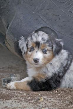 Paint Horses For Sale, Mini Australian Shepards For Sale - The Z Ranch - Cheyenne Wyoming: Australian Shepard, Thankspaint Horses, Cutebabyanimals479 Blogspot, Mini Aussie, Baby Animals, Quarter Horse