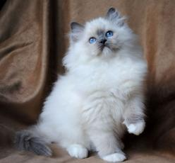 Ragdoll Cat Kittens For Sale Picture in Ragdoll Cat: Cats Cats, Cat Kittens, Kitty Cats, Ragdoll Cats And Kittens, Kittens Google, Cats Ragdoll, Ragdoll Kittens, Kittens Cats, Cats Kittens