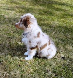 Red Merle Australian Shepherd Puppy: Doggie, Puppy Animales, Australian Shepherd Puppy, Color, Australian Shepherds Puppy, Australian Shepherd Puppies, Aussie Puppies
