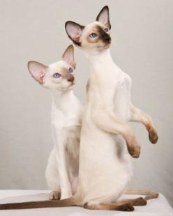 Siamese Mother and daughter. #siamese #cats #kittens #pets #animals: Cats Cats, Kitty Cats, Siamese Cats, Oriental Cats, Cat S, Animals Cats, Cat Breeds, Cats Ive