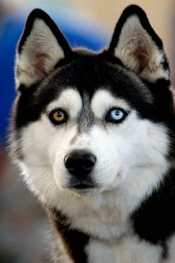 Siberian Husky: Wild Animal, Eye Color, Siberian Husky, Brown Eye, Siberian Huskies, Blue Eye, Amazing Animal, Beautiful Eye