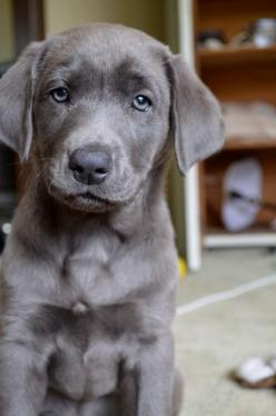 Silver lab. Often thought to be a mix of lab and Weimaraner, but true pups do exist and will darken as they get older. A true litter of silver labs often look striped like tabby cats when first born, but the stripes will disappear quickly. How cute, never
