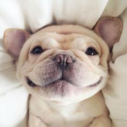 so happy: Doggie, Puppy Smile, French Bulldogs, Happy Face, Frenchie Smile, Big Smile, Friend, Adorable Animal