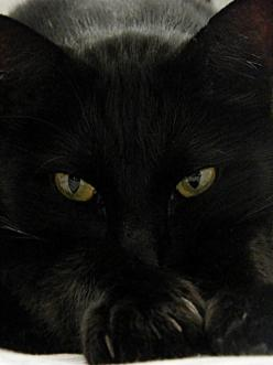 spectacular black cat: Black Kitty, Chat Noir, Black Kitties, Black Cats, Kitty Kitty, Cats Black, Cat S, Blackcat