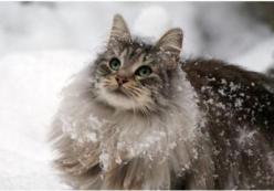 Splashfoot~female~trustworthy, loyal, compassionate, loving~mate: Stonetail~kit: Mosspaw (Open): Beautiful Cat, Kitty Cat, Norwegian Forest Cat, Maine Coon, Snow Cat, Kitty Kitty, Fluffy Cat, Coon Cat