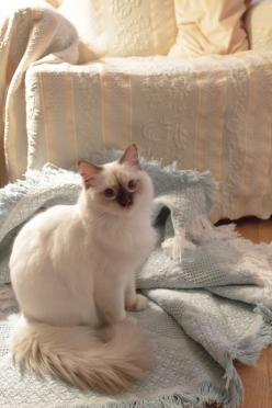 """❤️  =^..^=Thanks, Pinterest Pinners, for stopping by, viewing, re-pinning, & following my boards.  Have a beautiful day! ^..^ and """"Feel free to share on Pinterest ^..^   #catsandme #cats #doghealthcareblog: Cats Meow, Kitty Cats, Ragdoll Cats, Beautif"""