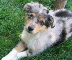 Zoe the Mini Australian Shepherd...I want one!: Brown Eyes, Puppies Dogs, Dogs My Passion, Favoritd Animals, Blue Eyes, Animals 3, Eyes Melts, Different Colored Eyes, Pretty Eyes