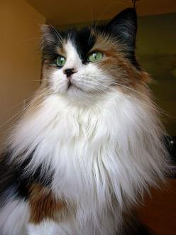 """""""A purring cat is a form of high praise, like a gold star on a test paler.  It is reinforcement of something we all want to think about ourselves--that we are nice."""" --Roger A Caras: Cats Meow, Kitty Cats, Beautiful Cats, Maine Coon Cats, Calico C"""