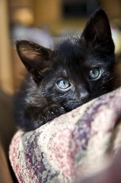 """""""Cats can perceive alternate realities.  They are often seen watching or tracking invisible things."""" --Jim Aites: Kitty Cats, Black Baby, Beautiful Eyes, Beautiful Black, Cats Black, Animals Black Cats, Cute Black Cats"""