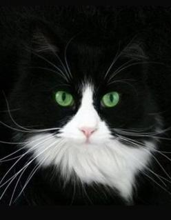 """""""I wish I could write as mysterious as a cat."""" --Edgar Allan Poe: Cats Tuxedo, Beautiful Cat, Kitty Cats, Tuxedo Cats, White Cats, Black White, Animals Cats, Black Cat"""