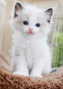 """My kittens look at me like little angels--and always after doing something especially devilish."" --Jaime Ann Hunt: Kitty Cats, Beautiful Cat, Cute Cat, Blue Eyes, Kitty Kitty, Cats Kittens, White Kittens, White Cat"