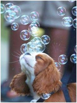 """""""So friendly and they tickle!"""" #dogs #pets #CavalierKingCharlesSpaniels #puppies Facebook.com/sodoggonefunny: Bubbles Dogs, Cocker Spaniel, Dogs Pets, Pets Cavalier, Cavalier Pets, Cavalier King Charles, King Charles Cavalier, Animal, King Charles"""