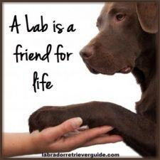 a lab is a friend for life! Lab are the most loyal dogs ever!unfortunately I had to put my chocolate lab down last week!chocolate labs are fantastic dogs and I don't know what I would have done without mine I love him soo much and miss him sooo much: