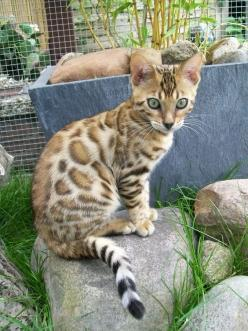 "A previous pinner said this was a Bengal, but it is not. This is closer to an Asian leopard cat, which is a ""parent"", so to speak, of the household Bengal, or even a Savannah.: Beautiful Cats, Cats Obvi, Cat Domestic, Savannah Cat, Asian Leopard C"