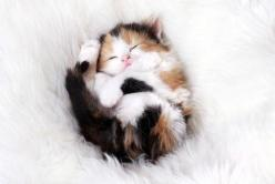 A sleeping kitten, resting on its back on a white, furry rug.: Kitty Cats, Adorable Animals, Kitty Kitty, Cute Animals, Baby, Cute Kittens, Sweet Dreams, Cat Lady