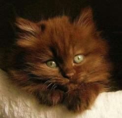 A Sweet Little Brown Kitten.Havana brown?: Brown Kittens, Beautiful Cats, Chocolate British, Beautiful Chocolate, Chocolate Kittens, Chocolate Cats, Cats Kittens, Brown Cats