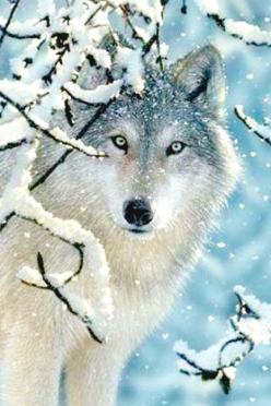 Absolutely gorgeous!! People need to stop hunting wolves, because there isn't that many of certain species left on earth!: Snow Beautiful, Beautiful Animal, Beautiful Wolf, Wild Animals, Winter Wonderland, Wolve, Snow Wolf, Gorgeous Wolf, Winter Wolf