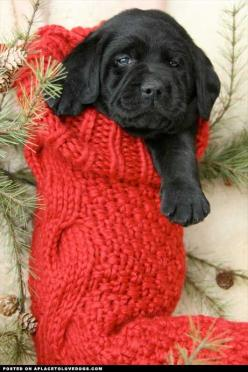Adorable black Lab puppy in a Christmas stocking: Christmas Puppy, Stocking Stuffers, Christmas Stockings, Christmas Dog, Christmas Animal, Christmas Gift, Merry Christmas