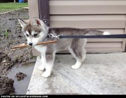 Adorable little Siberian Husky pup Nanook. I iz really wants to play outside with my stick, but unfortshoonately for me iz too mucky! For more cute dogs and puppies: Dogs And Puppies, Siberian Husky Puppies, Siberian Huskies, 3Bulldog Pets Puppies, Husky