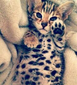 Ai meu Deus que coisa mais fofa!!!: Beautiful Cat, Kitty Cat, Animals Pets, Adorable Animals, Beautiful Animals, Bengal Kittens, Baby Animal, Kittens Cats