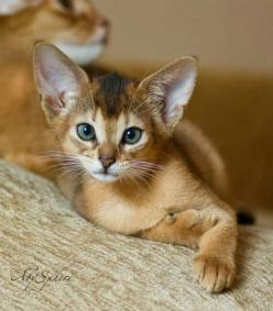 Amazing cats breeds - Abyssinian         From kittybloger          via Linda Rommelaere: Cats Cats, Amazing Cat, Kitty Cats, Abyssinian Kitten, Kitty Kitty, Abyssinian Cats, Cats Kittens, Cat Lady