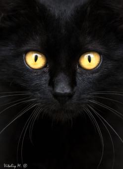 Amberleap is 17 moons old.she is siblings with Frostclaw and she is a girl.her apprentice is Moonpaw.: Black Beauty, Black Cats, Beautiful Eyes, Cats Twix, Cats Black, Cat S, Golden Eyes, Gold Eyes, Cats Kittens