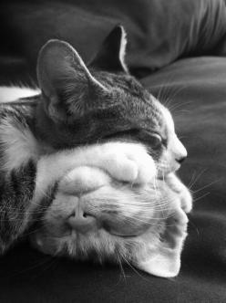 At first glance, it looked like there's a large bunny snoot, whiskers & teeth under the top kitty's paw. xD: Cats Cats, Kitty Cats, Catnap, Cat Naps, Kitty Kitty, Cat S, Cat Lady