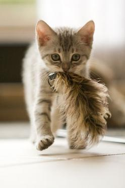 At first I thought this was TAIL IN MOUF but instead it is kitten who has captured a harmonizing feather!: Kitty Cats, Mighty Hunter, Kitty Kitty, Cat S, Feather Toy, Cats Kittens, Cute Kittens, Animal