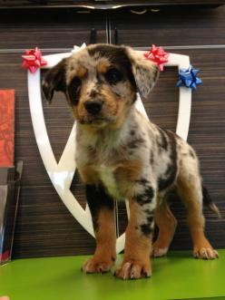 Australian Shepherd and Louisiana Catahoula mix puppy: Catahoula Dogs, Cutest Puppy, Dream Puppy, Catahoula Mix Puppies, Catahoula Puppies, Future Pets, Puppy Adorable, Mix Puppy, Animal