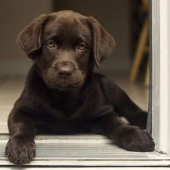 Aww! Remind my dog spot when he was a pup! Miss him as a pup!! Now he's big, going on to be 4years old June.: Doggie, Labrador Retriever, Chocolate Lab Puppies, Chocolate Labs, Pet, Chocolate Labrador, Animal