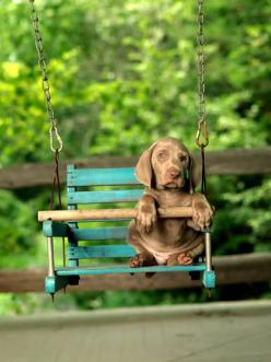 baby weim: Porch Swings, Baby Swings, Puppy Swing, Precious Puppy, Animals Dogs, Awww Precious, Weimaraner Puppies, Furry Friends