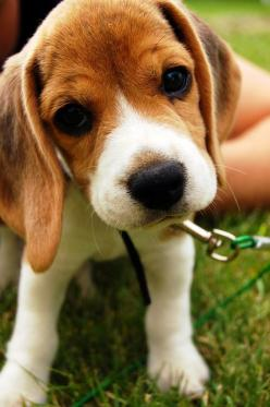 Beagles   10 Most Loyal Dog Breeds of All times #3: Beagle Puppy, Beagle Baby, Beagle Puppies, So Cute, Pet, Beagles, Baby Beagle, Cutest Puppie